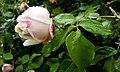 Rosa chinensis in Yerevan 06.jpg