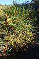 Rosa sericea - Quarryhill Botanical Garden - DSC03324.JPG