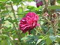 Rosa sp.47.jpg