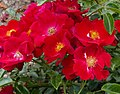 Rosarium Baden Rosa 'Alcantara' Noack 1998 02.jpg