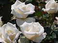 Rose,Bridal White,バラ,ブライダル ホワイト, (8119294697).jpg