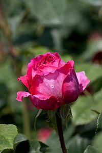 Rose, Othello - Flickr - nekonomania (2).jpg