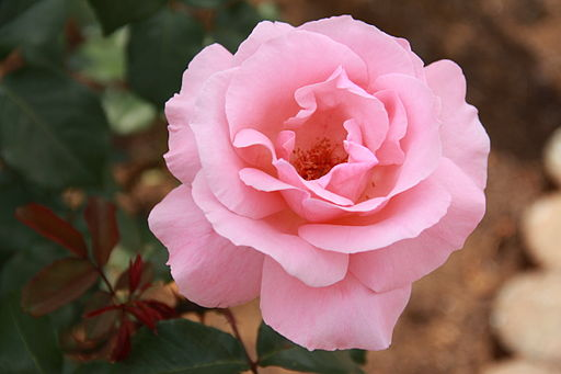 Rose 'Queen Elizabeth' 1954