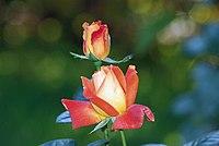 Rose louis de funes.jpg