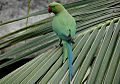 Rose ringed parakeet female.jpg