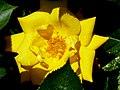 Rosengarten der Stadt Köln Rosa 'Goldmarie' 4.jpg