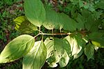Roughleaf Dogwood Cornus drummondii Leaves 3008px.jpg