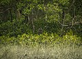 Royal Bengal Tiger of Sundarban.jpg