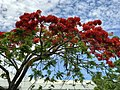 Royal poinciana at Noosa Heads, Queensland.jpg