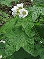 Rubus parviflorus RF.jpg
