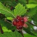 Rubus spectabilis 2 RF.jpg