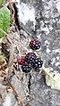 Rubusoj en Luksemburgo 02.jpg