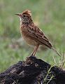 Rufous-naped Lark, Mirafra africana at Krugersdorp Nature Reserve, Gauteng, South Africa (30567919113).jpg