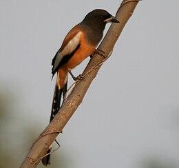 Rufous Treepie (Dendrocitta vagabunda) in Kawal, AP W IMG 1969.jpg