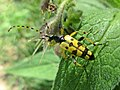 Rutpela maculata (Cerambycidae), Doorwerth, the Netherlands - 2.jpg