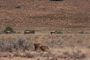 Laohu Valley Reserve - A South China tiger stalking a herd of blesbuck at Laohu Valley Reserve.