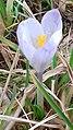 Saffron - Crocus vernus 00b.jpg