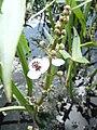 Sagittaria sagittifolia OM27.jpg