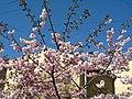 Saint Petersburg. Chinese Garden. Sakura tree2014 15.jpg