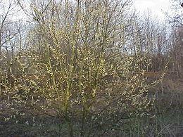 Salix caprea9