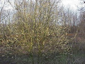 Salicaceae - Salix caprea