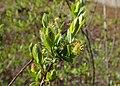 Salix myrtilloides kz10.jpg