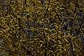 Salix tetrasperma Indian Willow tree from Anaimalai Tiger Reserve JEG1566.JPG
