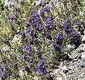 Salvia dorrii var clokeyi 14.jpg
