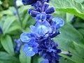 Salvia farinacea 0.5 R.jpg