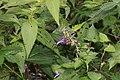 Salvia glabrescens (leaf s2).jpg