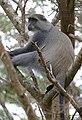 Samango Monkey (Cercopithecus albogularis) (31694955257).jpg