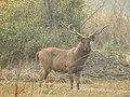 Sambar deer Rusa unicolor stag Bharatpur by Dr. Raju Kasambe DSCN2776 (28).jpg