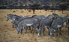 A herd of Grévy's zebras in Samburu National Reserve