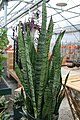 Sansevieria zeylanica 0zz.jpg