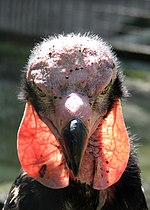Sarcogyps calvus -Berlin Zoo -upper body-8b.jpg