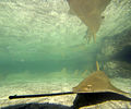 Sawfish Atlantis Paradise Island photo D Ramey Logan.jpg