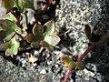 Saxifraga cernua leaf upernavik 2007-07-09.jpg