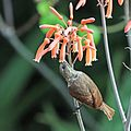 Scarlet-chested sunbird (Chalcomitra senegalensis lamperti) female feeding.jpg