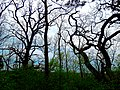 Scary Trees along the Ice Age Trail - panoramio.jpg
