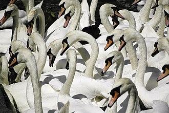 Alster - Hamburg's white Alster swans (Alsterschwäne) at Kleine Alster