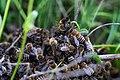 Schwarmtrieb der Bienen.jpg