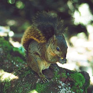 Bangss mountain squirrel species of mammal
