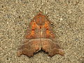 Scoliopteryx libatrix (13992938086).jpg