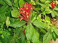 Scutellaria costaricana.jpeg