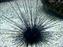 Sea Urchin in Shedd Aquarium (Chicago, IL) 28Nov07.JPG
