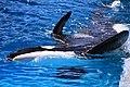Seaworld-SanAntonio-Shamu-2474i.jpg