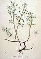 Sedum cepaea — Flora Batava — Volume v20.jpg