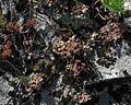 Sedum dasyphyllum PID1849-4.jpg