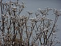 Seed heads with snow - geograph.org.uk - 1655500.jpg