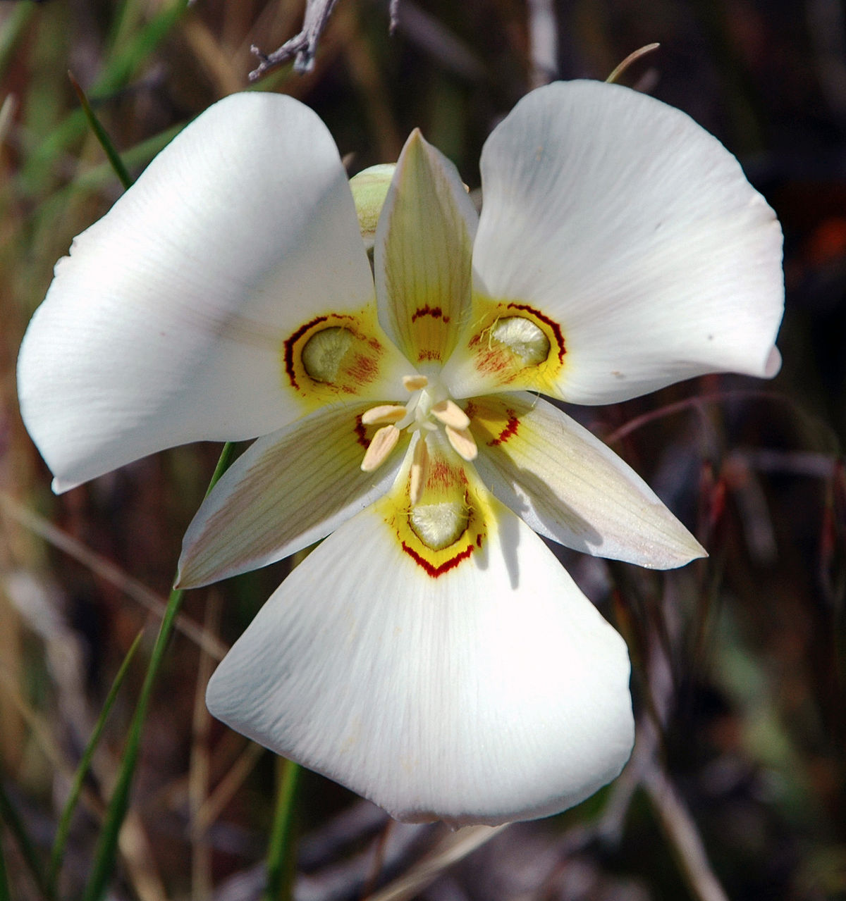 Calochortus Wikipedia